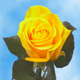 Bright Yellow Roses Choose Your Quantity From 50 to 250 Mohana Roses                                                              For Delivery to Iowa
