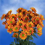 72 Blooms of Bronze Daisy Pom Poms 18 Stems