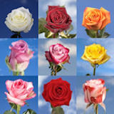 500 Roses Your Choice of Up to 20  Rose Varieties