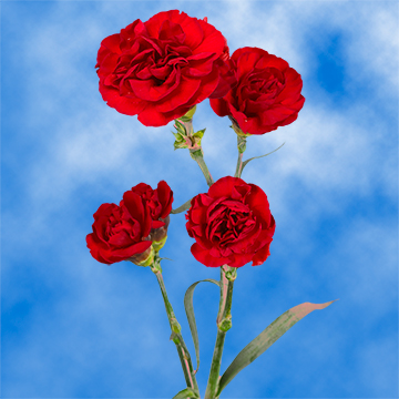 Burgundy Spray Carnations Choose Your Quantity From 100 to 300 Spray Carnations