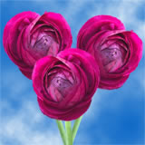 50 Burgundy Ranunculus                                                               For Delivery to Louisiana