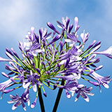 50 Stems of Blue/Purple Agapanthus                                                              For Delivery to New_Jersey