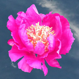 Fuchsia Peonies Choose Your Quantity From 30 to 100 Blooms: 10 - 100 Flowers
