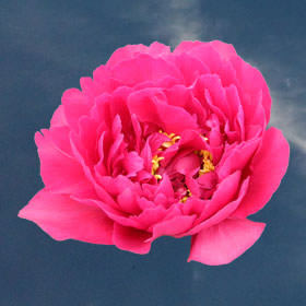 Bright Watermelon Pink Peonies Choose Your Quantity From 30 to 100 Blooms: 10 - 100 Flowers                                                              For Delivery to North_Dakota
