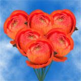 100 Orange Ranunculus                                                              For Delivery to Delaware