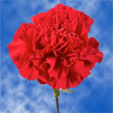 100 Stems of Red Carnations