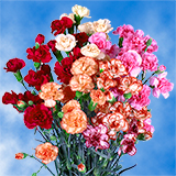Novelty Spray Carnations Choose Your Quantity From 400 - 1200 Blooms: 100 to 300 Spray Carnations
