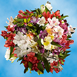 80 Stems of Select Alstroemerias Your Choice of Up to 8 Colors 320 Blooms