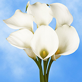 18 Stems of White Calla Lilies