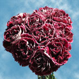 300 Dark Red with White Outer Petals Carnations