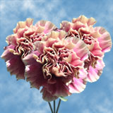 200 Stems of Cream with Pink, Antigua Carnations