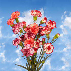 Bicolor Spray Carnations Choose Your Quantity From 100 to 300 Spray Carnations