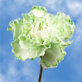100 Stems of Green Carnations