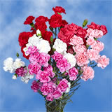 100 Stems of Valentine's Day Spray Carnations 400 Blooms                                                              For Delivery to District_Of_Columbia