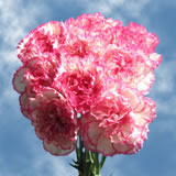 White with Pink Edges Carnations Choose Your Quantity From 100 to 400 Komachy Carnations