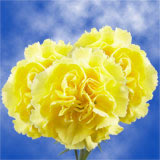 200 Stems of Yellow Carnations