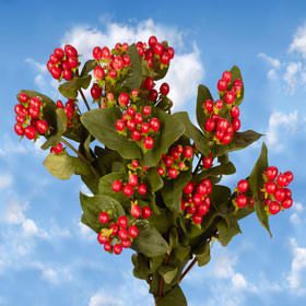 Cherry Hypericum Flowers Choose Your Quantity From 240 - 1920 Blooms: 30  - 240 Flowers                                                              For Delivery to Delaware