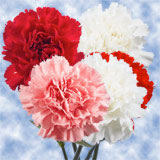 100 Stems of Christmas Colors Carnations                                                              For Delivery to Louisiana