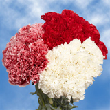 Red and White Carnations Choose Your Quantity From 100 to 400 Christmas Carnations