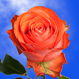 Bright Coral Choose Your Quantity From 50 to 250 Show Girl Roses