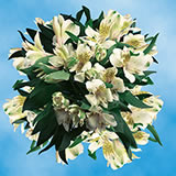 120 Blooms of Cream Select Alstroemerias 30 Stems