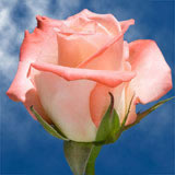 Cream with Pink Roses Choose Your Quantity From 50 to 250 Alex Roses