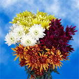 72 Blooms of Assorted Color Cushion Pom Poms 18 Stems