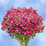 240 Stems of Dianthus