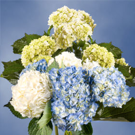 Hydrangea's Choose Your Quantity & Color From 10 - 50 Flowers