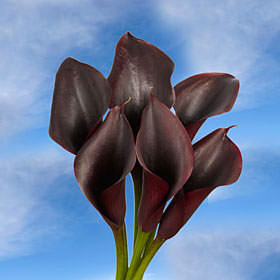 Dark Purple Calla Lilies Choose Your Quantity of From 10 - 240 Flowers                                                              For Delivery to Massachusetts