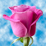 Deep Dark Lilac Roses Choose Your Quantity From 50 to 250 Soulmate Roses