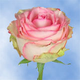 200 Stems of Creamy with Light Pink, Esperance Roses                                                              For Delivery to Kansas
