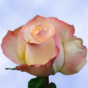 Peach with Pink Tips Roses Choose Your Quantity From 50 to 250 High and Sunshine Roses