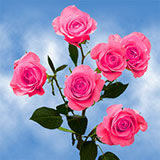 40 Stems of Hot Pink Valentine's Day Spray Roses 160 Blooms