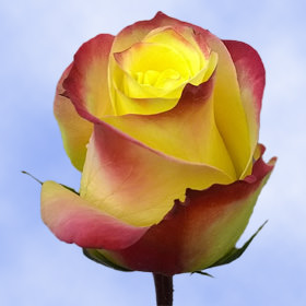 Deep Yellow with Red Blush Outer Roses Choose Your Quantity From 50 to 250 Hot Merengue Roses