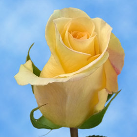 Light Yellow Roses Choose Your Quantity From 50 to 250 Timeless Roses
