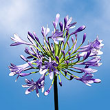 100 Stems of Blue Agapanthus 2500 Blooms