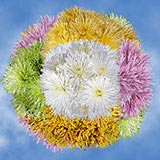 200 Stems of Assorted Color Fuji Spider Mums