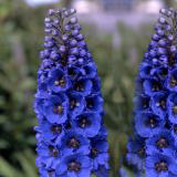 60 Stems of Assorted Color Delphiniums