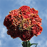 300 Stems of Red with Green Edges, Piet Carnations