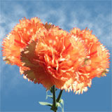 200 Stems of Orange with Darker Orange Tipe, Dandi Carnations