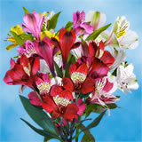 240 Blooms of Select Assorted Color Alstroemerias 60 Stems