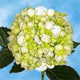50 Stems of White with Green Hydrangeas                                                              For Delivery to Delaware