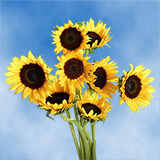 15 Stems of Sunflowers Brown Center
