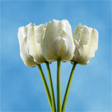 30 Stems of White Tulips Flowers