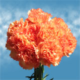 Orange with Darker Orange Tips Carnations Choose Your Quantity From 100 to 400 Dandi Carnations
