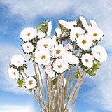 180 Stems of White Asters Matsumoto 720 Blooms