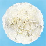 200 Stems of White Carnations                                                              For Delivery to Wisconsin