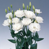 160 Stems of White Lisianthus 640 Blooms                                                              For Delivery to California