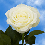 Off White Lemony Roses Choose Your Quantity From 50 to 250 Pleasure Roses                                                              For Delivery to Vermont